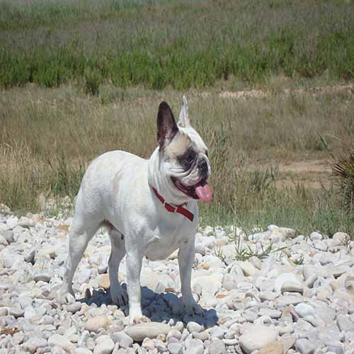 Bulldog franses frances