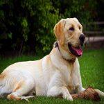 perro labrador amarillo golden