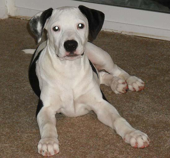 Labrador Cruzado Con Pitbull Características Aseo Y Mas
