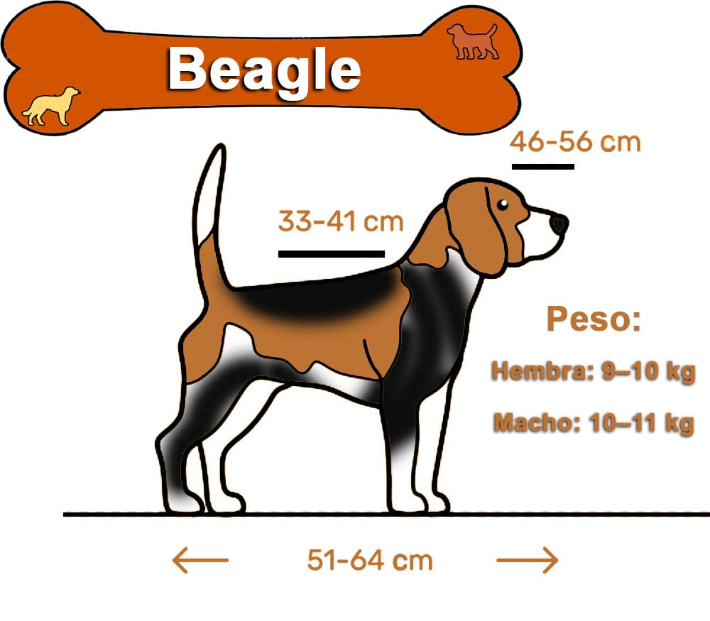 Inforgrafia Beagle:
