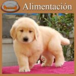 Tabla de alimentacion del golden retriever