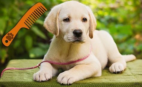 Cepillar el Labrador