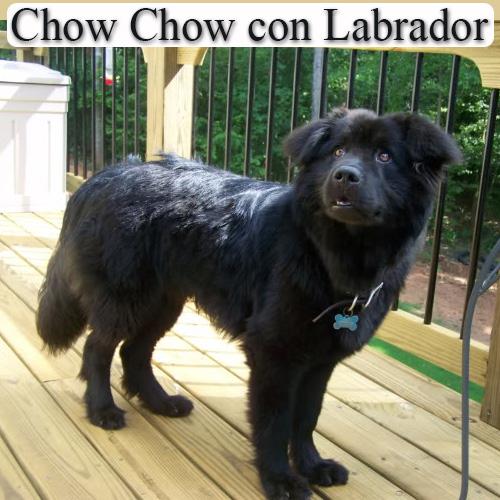 perros chow chow cruzado con labrador