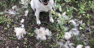 el perro labrador suelta mucho pelo
