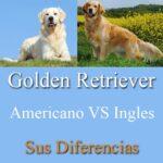 golden retriever britanico vs americano