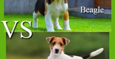 beagle o jack russell