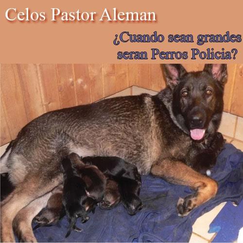¿a que edad se puede cruzar un perro pastor aleman macho y hembra?