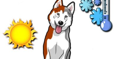 temperatura ideal para husky siberiano