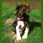 beagle cruzado con boxer