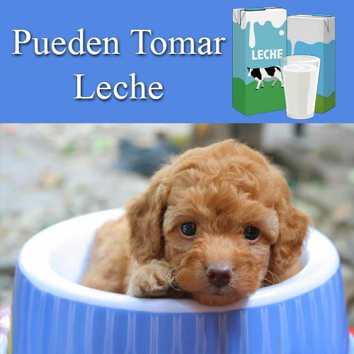 ¿los caniches toy pueden tomar leche?