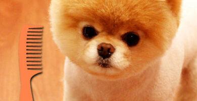 como esponjar el pelo de un perro pomerania