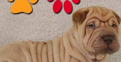 ventajas y desventajas de tener un perro shar pei