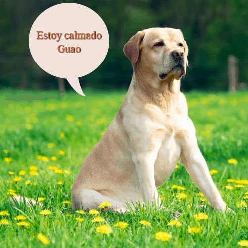 ¿Se puede calmar a un Labrador?