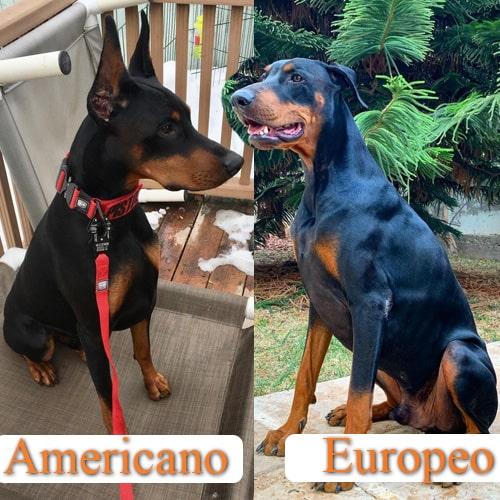 doberman americano vs europeo diferencias