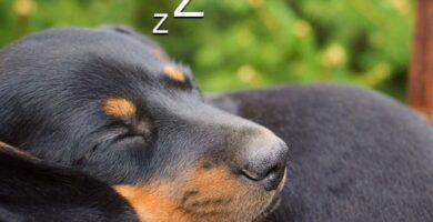 Los perros slachicha duermen Mucho