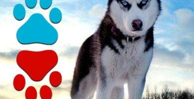 ventajas y desventajas de tener un husky