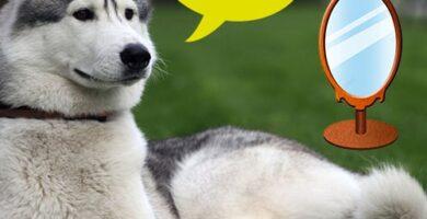 raza de perro parecido al husky